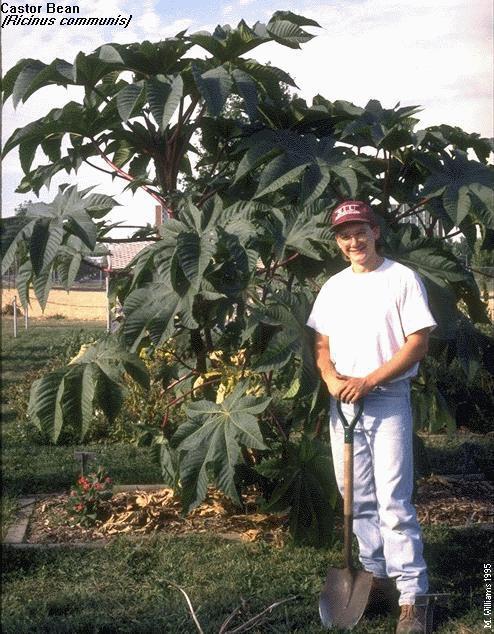 Castor Bean Bush
