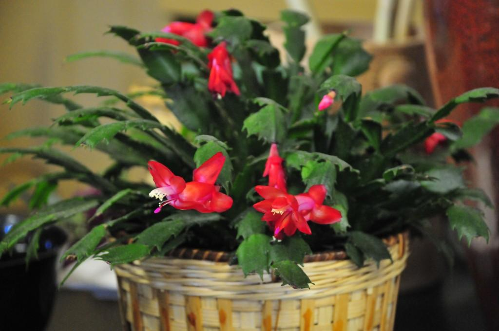 Are Christmas Cactus Poisonous.Christmas Cactus Arizona Poison And Drug Information Center