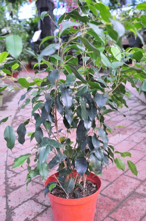 Ficus Fig